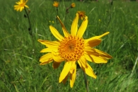 1arnika_arnica-montana2claudialeitner-1f2af498b4e3ac18e14d518ae1d49be6