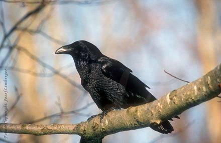 3kolkrabe-corvus-corax-foto-copyright-josef-limberger-neuschoenau-bayerischer-wald-januar-2002-e4ec63ba749a8d9096fad6fbf549ec27