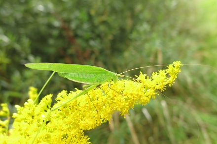 3l02-2014.08.27-phaneroptera-falcata-auf-solidago-canadensis-a-c.leitner-20c1207becc7c62b1e9db88c447a1634