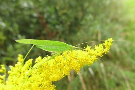 3l02-2014.08.27-phaneroptera-falcata-auf-solidago-canadensis-a-c.leitner-d90b736415950c657063244fe07a17e3