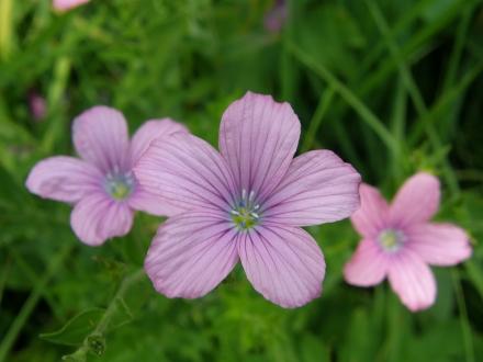 3linaceae_kl02-2013.07.12-linum-viscosum-c.leitner-bfa8a87c85416d4873a166e2f11200a4