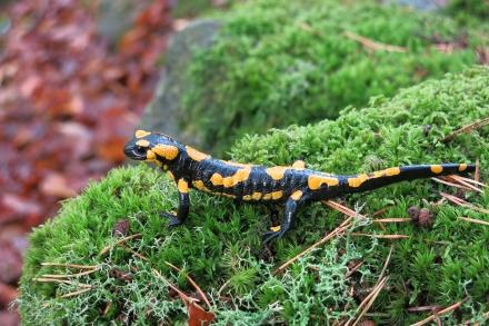 3ro07-2015.09.04-salamandra-salamandra-a-c.leitner-f2dabb94b78a3aaa75da4fbb60d5d26f