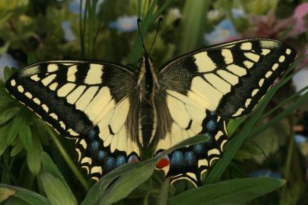 4schwalbenschwanz-papilio-machaon-papilionidae-foto-copyright-josef-limberger-bubenberg-steegen-f5986bcda5356d9e2ce2e13f60425f61