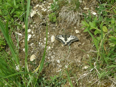 4sr02-2014.05.06-papilio-machaon-a-c.leitner-2-7ef63814d0460faff1ee179eebe95e93