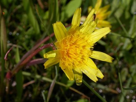 4uu02-2010.06.04-scorzonera-humilis-a-m.schwarz-19b005cdca37e9d97685fed88108f752