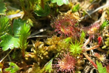 5uu02-2017.08.23-drosera-rotundifolia-a-c.leitner-d2e179c9fa4fc029f83f5b76409238d9