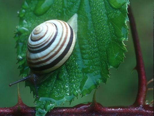 94.08-gerippte-baenderschnecke-cepaea-vindobonensis-foto-copyright-josef-limberger-ng.-urfahrwaemd-linz-ooe-65ff5d67e813d293ee8c2c4bb8c3887b