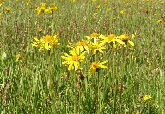 arnika_arnika-montana-_asteraceae_landooe-astrauch-d7321b3160c782b36a9ff216388001eb