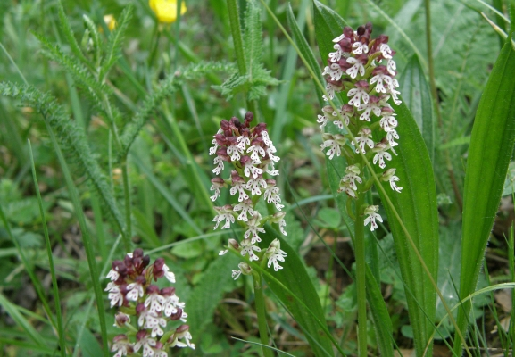 brandkeuschstaendel_neotinea-ustulata_orchidaceae_orchis-ustulata-a-c.leitner-b924ae452a2c9e0175efa4b1f478b53c