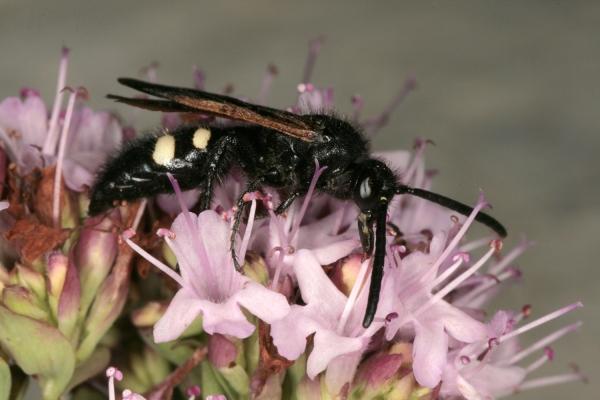 dolchwespe-scolia-sexmaculata-foto-copyright-joseflimberger-b76292e0ad6b2afe52e39ab0bedb8d53