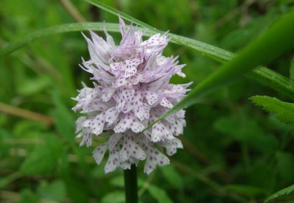 dreizaehnigerkeuschstaendel_neotinea-tridentata_orchidaceae-a-c.leitner-d36780210d3993d8942dcb85735dde90