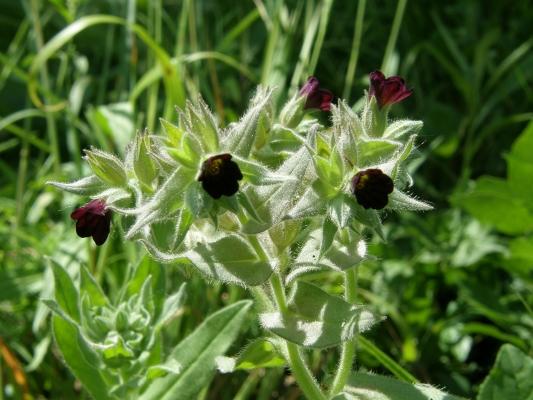 dunklesrunzelnuesschen_nonea-pulla-boraginaceae-a-c.leitner-a7e5f13133a195bdcedc705949c8981a