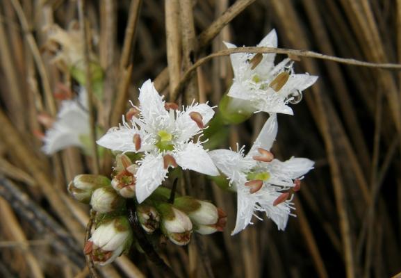 fieberklee_menyanthes-trifoliata_menyanthaceae-a-c.leitner-44d8baa7ff16dd2825229cd32a835886
