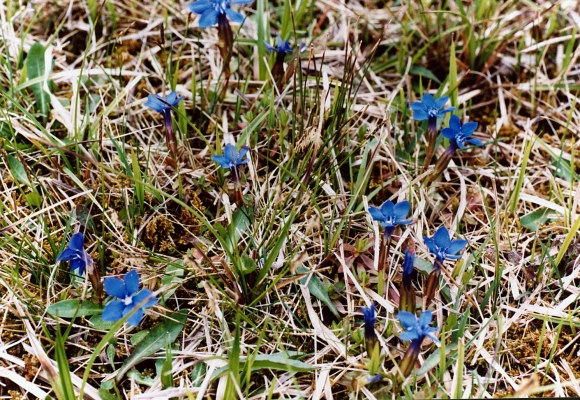 fruehlingsenzian_gentiana-verna_gentianaceae_land-ooe-strauch_t-260c0372b85255688d867ac15e4f5cb7
