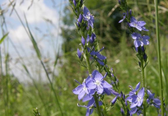 grosserehrenpreis_veronica-teucrium_scrophulariaceae-a-c.leitner-e85ed458494c3837cf18b65baf3c1104