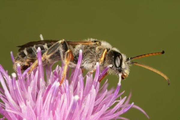 img_0285-furchenbiene-halictus-quadricinctus-apidae-maennchen-foto-copyright-josef-limberger-steining-ooe.-26.7.2011-c592626fa286c587239a59c9c0da4417