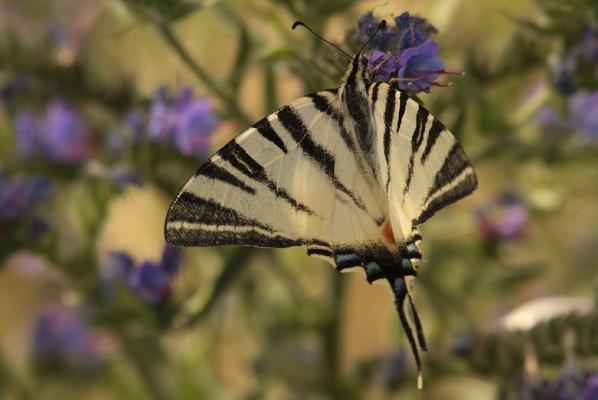 img_0359-segelfalter-iphiclides-podalirius-papilionidae-foto-copyright-josef-limberger-illmitz-bgl.-12.7.2013-30e81247f6b900fcb4262693aecda2ca