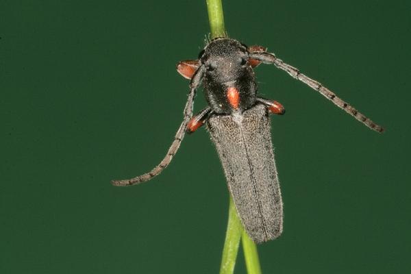 img_4766-bockkaefer-phytoecia-pustulata-schrk.-flugplatz-wels-ooe.-25.4.2009-foto-copyright-josef-limberger-3d6dd44e32fc4239be9394d1384f99ed
