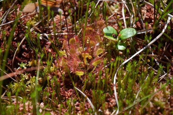 rundblaettriger-sonnentau_drosera-rotundifolia_droseraceae-ad.priller-e6e8b6ef309d080ac2b3b19bba94b2a7