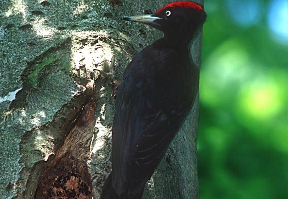 schwarzspecht-dryocopus-martius-joseflimberger-84d49d66d1ddc509e29ea601da98960b