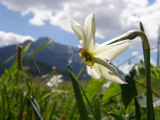 sternnarzisse_amaryllidaceae-narcissus-radiiflorus-a-c.leitner-49bc6e31658364d4fddf1b0efc69cf06