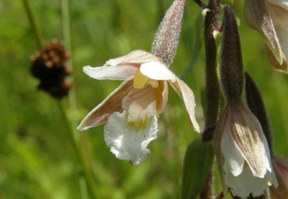 sumpfstaendelwurz_epipactis-palustris_orchidaceae-a-c.leitner-8bd29b1f959217c6256fabcca1ada97d
